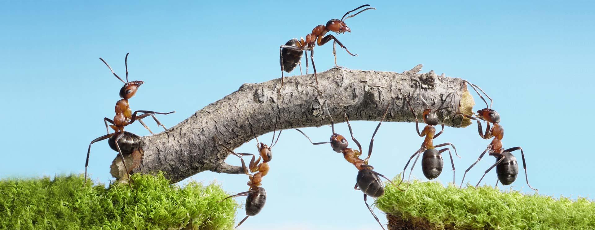 Ameisen tragen einen Ast über einen Abgrund